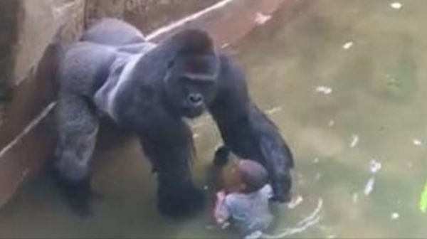 Harambe: Male Gorilla  Killed to Save A 4 Year Old…