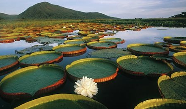 Largest Water Lily in the World