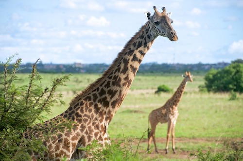 giraffes-holiday-packages-in-kenya-travel-africa-african-celebs1jpg